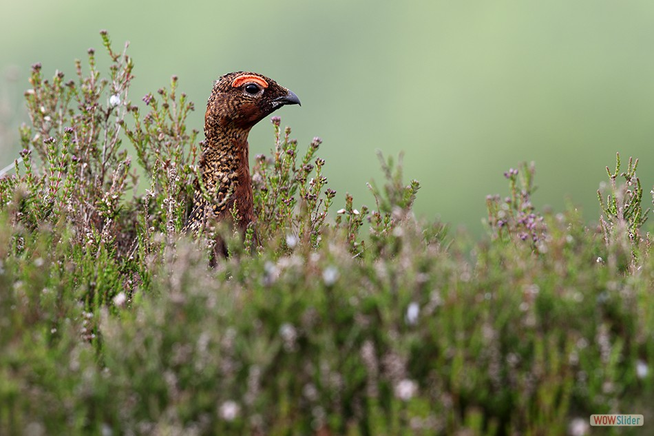 Red Grouse, Glen Lethnot