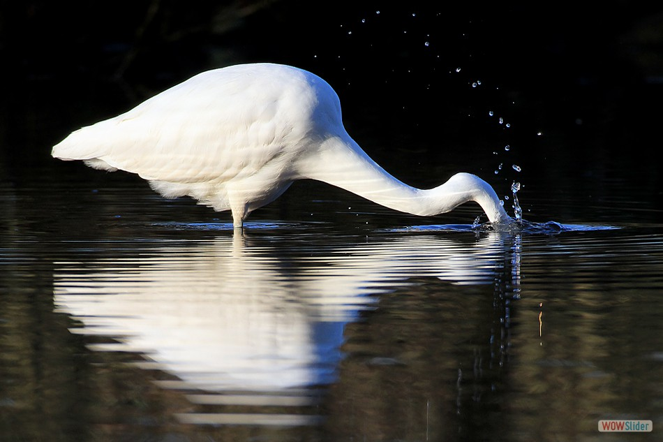 Great White Egret, Balnamoon
