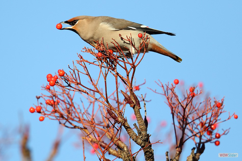 Waxwing, Montrose